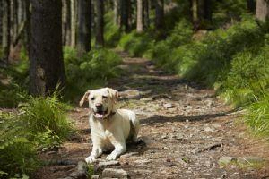 yellow Lab on trails